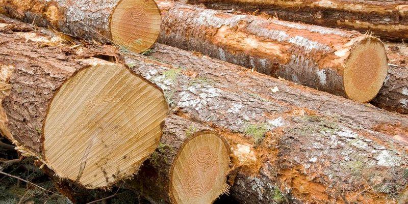 Мастер парка «Вижницкий» выдавал незаконные разрешения на вырубку деревьев