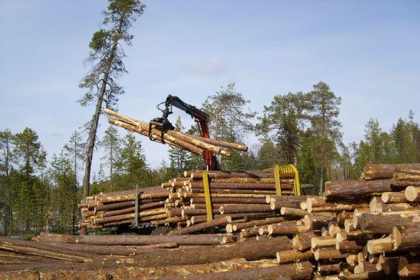Чиновников лесхозов в Полтавской области подозревают в хищении и экспорте древесины
