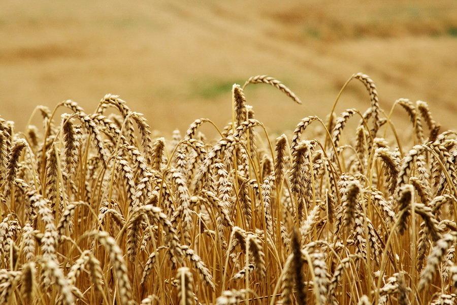 В АРМА продали зерно фермеров по заниженной в 10 раз цене