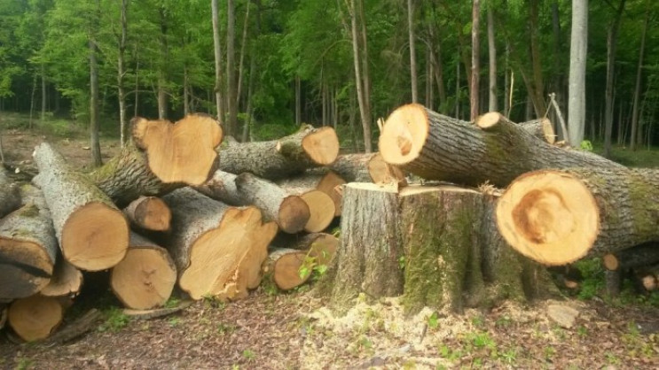 Экс-директор Покровского лесхоза незаконно выдал разрешение вырубку дубов