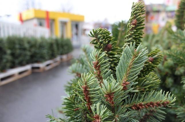 Убытки от нелегальной продажи елок составили 430 тысяч гривен